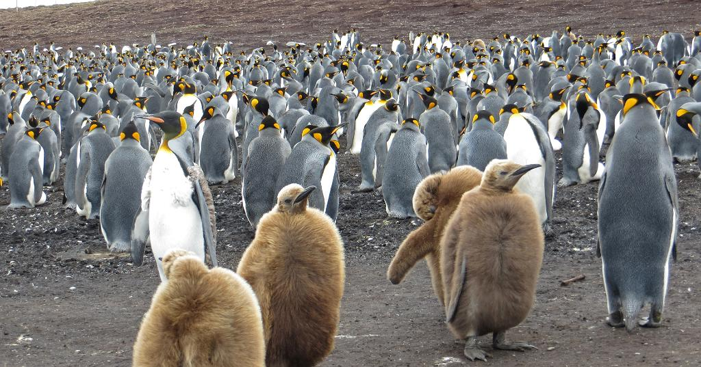 Young furry Kings, Falkland Islands